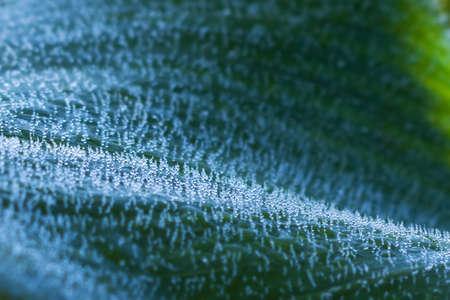 Corn leaf with dew background