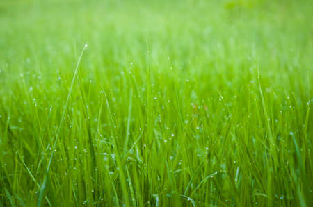 Green grass with dew drops. Stockfoto