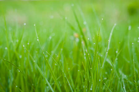 Green grass with dew drops.
