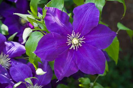 Purple beautiful flower Clematis Jackmanii.