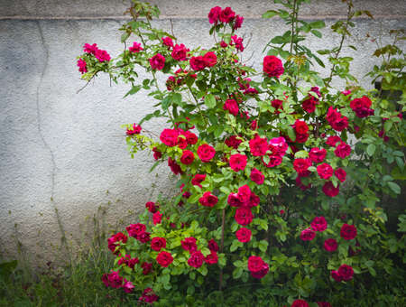Red roses near a cracked wall Stockfoto