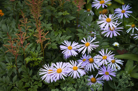 Beautiful blue flowers in the garden. Chamomile