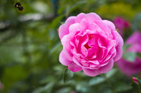 Pink rose and flying bumblebee close-up, green leaves, blurred background. Stockfoto