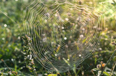 Spider web with droplets of dew.