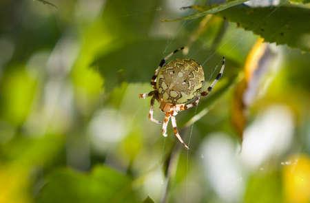 Spider with four spots, female Araneus quadratus. This spider lives in Europe and Asia.