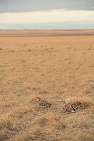 Sharptail Grouse Stockfoto