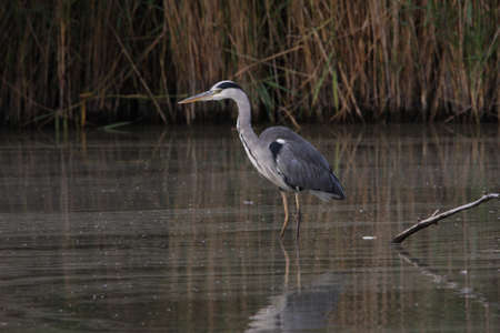 gray herons: Grey heron hoping to catch some fish
