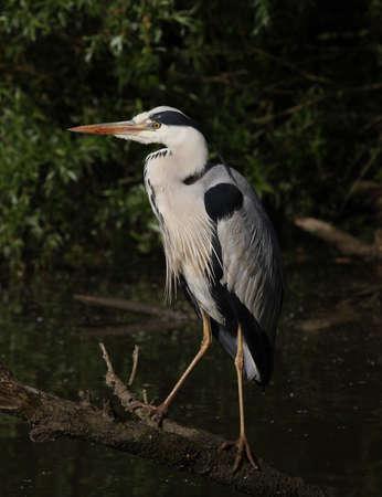 Grey heron resting on a branck