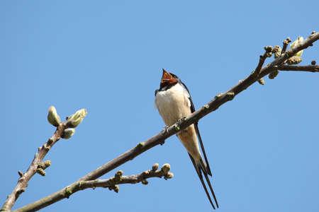 Barn-swallow high on a branch Stock fotó