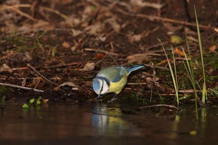 cyanistes: Blue Tit, Cyanistes caeruleus Stock Photo