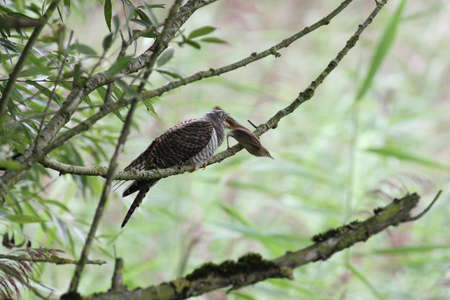 canorus: Common Cuckoo, Cuculus canorus Stock Photo