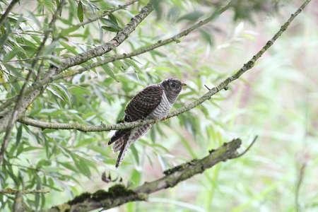 cuckoo: Common Cuckoo, Cuculus canorus Stock Photo
