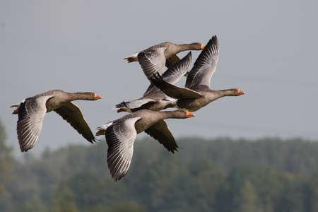 anser: Greylag Goose, Anser anser