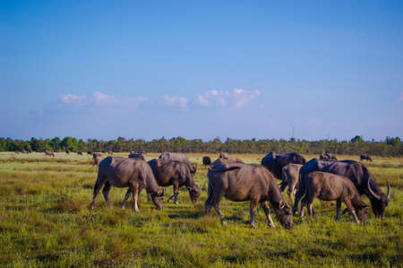 buffalo Thailand Stock Photo - 17083501