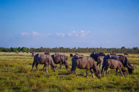 buffalo Thailand Stock Photo - 17083501
