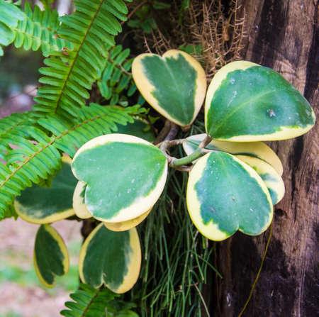 fern  large fern: Plant heart