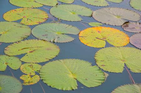 lotus leaf in water photo