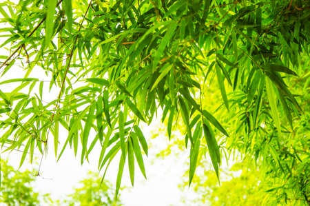 beautiful green leaf bamboo background photo
