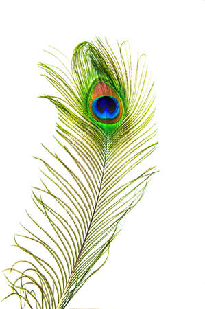 beautiful peacock feathers Stock Photo - 20587841