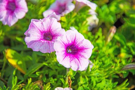 field of flower: campo di fiori Archivio Fotografico