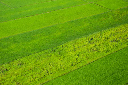 birdeye: rice field birdeye view take from paramotor