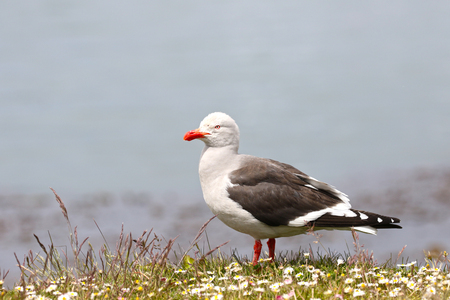 Dolphin Gull or Red-billed Gull standing in wild flower field. Ushuaia, Chile, South America Stock Photo