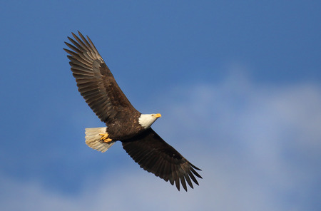 Bald Eagle in Flight, Blue Sky Background, Vancouver Island, Canada Stock Photo - 96726929