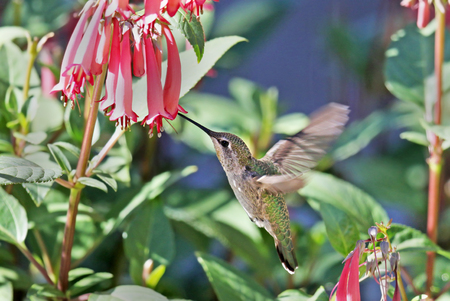 Annas Hummingbird Feeding  on Cape Fuchsia Flower