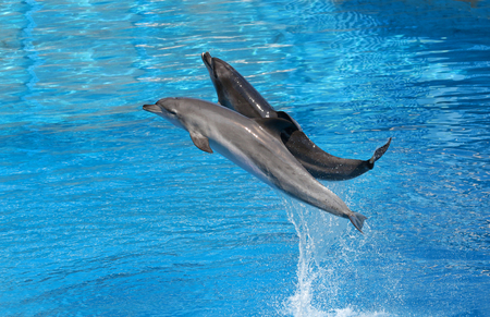 Bottle nosed dolphin performing jumps, blue water background Stock Photo