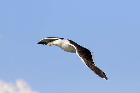 Kelp Gull in flight, Uruguay, South America. Blue sky background. Stock Photo - 96784175