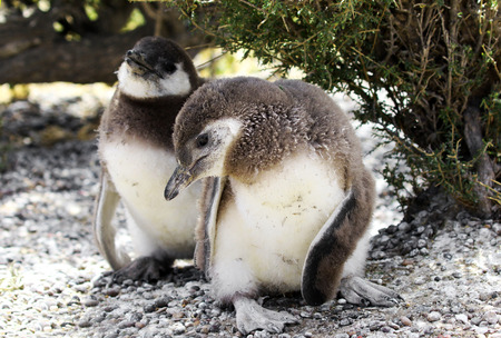 Magellanic Penguin Chicks at , one of the largest in the world, Patagonia, Argentina