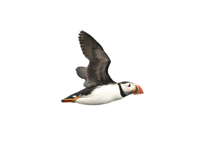 Atlantic Puffin in flight, white background isolated. The clown faced bird. Newfoundland, Canada. Slight motion blur Foto de archivo