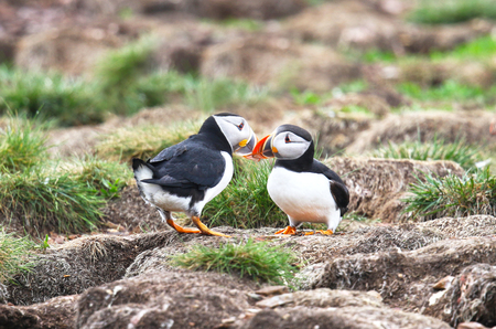 Atlantic Puffin Mating behavior, standing on nesting burrows  touching beaks, from Newfoundland, Canada. Rookery background