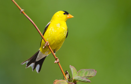 American Goldfinch, with a Green Background
