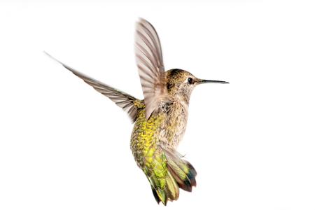 Annas Hummingbird in Flight, White Background, Canada Zdjęcie Seryjne