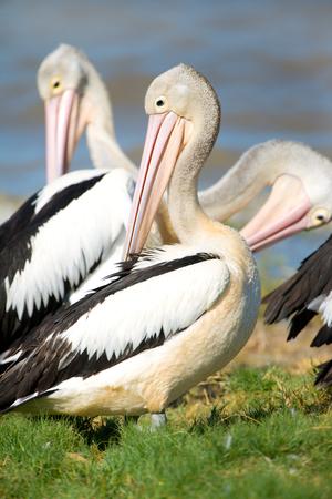 Australian Pelican Standing, with warm light, Queensland Stock Photo