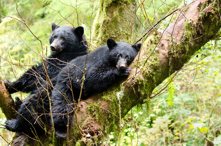 Black Bear Mother & Cub Resting in a Tree, British Columbia, Canada Standard-Bild - 96802749