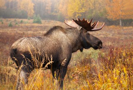 Moose Bull blowing some Steam, Male, Alaska, USA Stockfoto