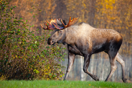 Moose Bull Running, Male, Alaska, USA