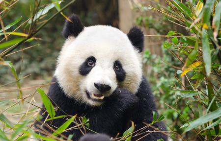 Joven panda gigante comiendo bambú, Chengdu, China Foto de archivo