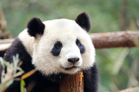 Resting Giant Panda - Sad, Tired, Bored looking Pose. Chengdu, China 스톡 콘텐츠