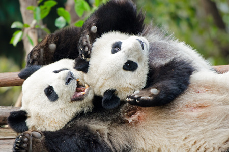 Giant Panda Mother & cub Playing, Chengdu, China Banque d'images