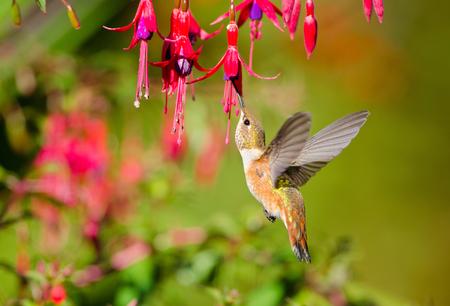 Rufous Hummingbird feeding on Hardy Fuchsia Flowers