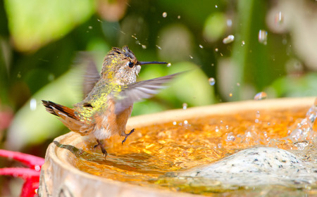 Rufous Hummingbird dancing in the bird bath 写真素材