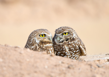 Pair of Burrowing Owls, sitting in the burrow. USA
