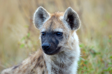 A Spotted Hyena Baby close up Head Shot, Kruger National Park, South Africa