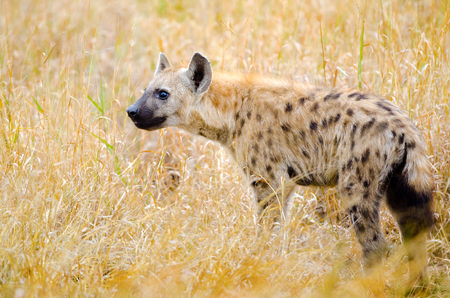 Spotted Hyena hunting, Kruger National Park, South Africa Stock Photo