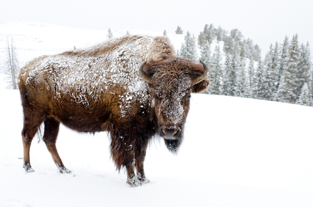 Bison Covered in Snow, Yellowstone National Park 版權商用圖片
