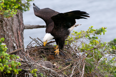 Bald Eagle arriving at Nest. British Columbia, Canada
