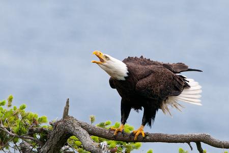 Bald Eagle Calling with Blue Sky. British Columbia, Canada